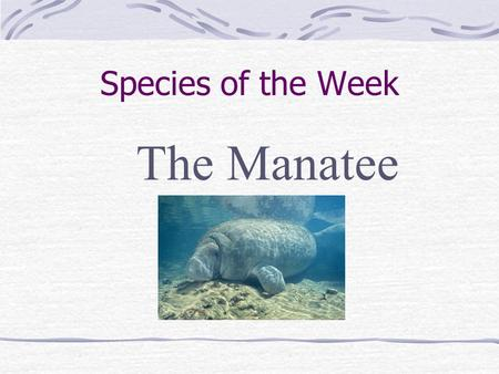 Species of the Week The Manatee. Where do they live? Warm water of shallow rivers, bays, estuaries & coastal waters Florida's coastal waters during winter.