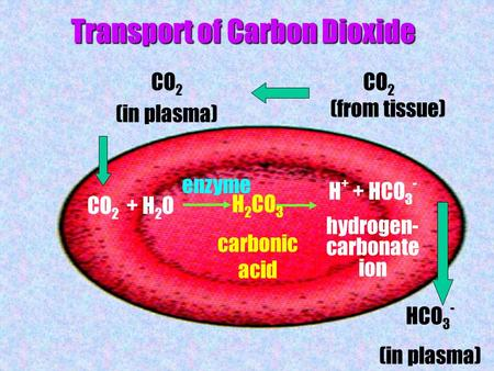 Transport of Carbon Dioxide CO 2 (from tissue) CO 2 (in plasma) CO 2 + H 2 O H + + HCO 3 - hydrogen- carbonate ion HCO 3 - (in plasma) H 2 CO 3 carbonic.
