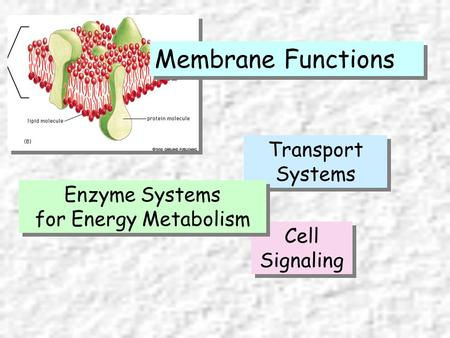 Selective Barrier Transport Systems Cell Signaling Membrane Functions Enzyme Systems for Energy Metabolism Enzyme Systems for Energy Metabolism.