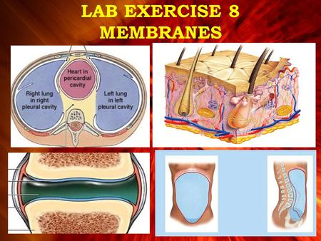 LAB EXERCISE 8 MEMBRANES. Membranes –Line or cover body surfaces –Consist of epithelium supported by connective tissue Four Types of Membranes 1.Cutaneous.
