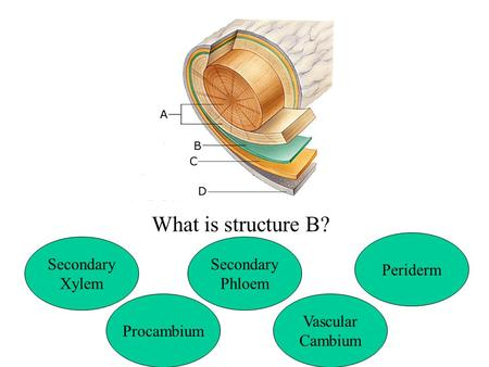 What is structure B? Secondary Xylem Secondary Phloem Periderm Procambium Vascular Cambium.