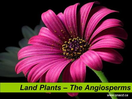 Land Plants – The Angiosperms www.onacd.ca. Characteristics of Angiosperms Are the most widespread land plants Comprised of 250,000 to 400,000 known species.