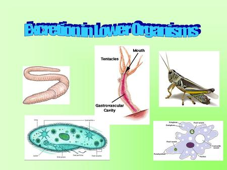 Aim: How does excretion occur in lower organisms? I. Excretion in the Ameba/Paramecium A. The ameba and paramecium get rid of NH 3 (nitrogenous waste)