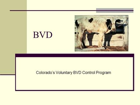 BVD Colorado's Voluntary BVD Control Program. Bovine Viral Diarrhea (BVD) review BVD may infect cattle of any age. BVD is a disease that diminishes production.