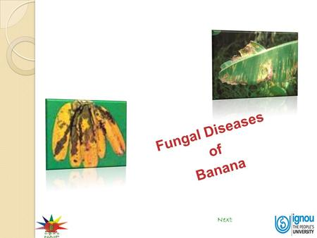 Next Fungal Diseases of Banana. Fungal Diseases of Banana Click on the disease End Sigatoka leaf spots Anthracnose Fusarium wilt Freckle leaf spot.