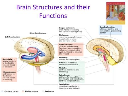 "Brain Structures and their Functions. The Endocrine System  Endocrine System  the body's ""slow"" chemical communication system  a set of glands that."