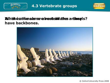 © Oxford University Press 2008 4.3 Vertebrate groups What is the same about all the animals?All the animals are vertebrates - they have backbones.