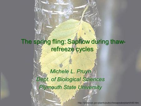 The spring fling: Sapflow during thaw- refreeze cycles The spring fling: Sapflow during thaw- refreeze cycles Michele L. Pruyn Dept. of Biological Sciences.