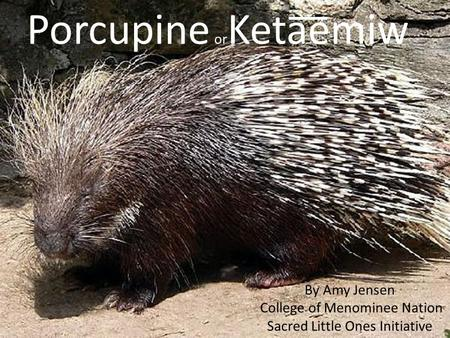 Porcupine or Keta͞͞emiw By Amy Jensen College of Menominee Nation Sacred Little Ones Initiative.