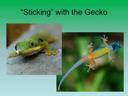 """Sticking"" with the Gecko. Van der Waals Forces and Animal Adhesion upload.wikimedia.org  pictures-breeders-babies/tokay-gecko-pictures-breeders-"