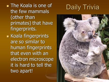 Daily Trivia The Koala is one of the few mammals (other than primates) that have fingerprints. The Koala is one of the few mammals (other than primates)