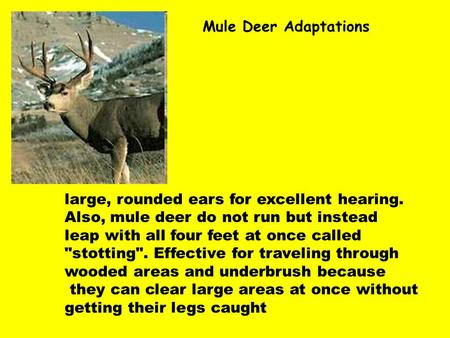 Mule Deer Adaptations large, rounded ears for excellent hearing. Also, mule deer do not run but instead leap with all four feet at once called stotting.