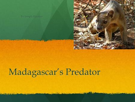 Madagascar's Predator By Joseph Higgins Food For Fossa's They eat what ever they can take down to mouse to wild pig. They eat what ever they can take.