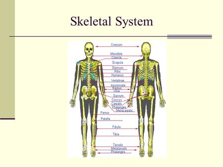 Skeletal System. Functions of the skeletal system Framework Support/protect internal organs Body movement Provides leverage for lifting and movement through.