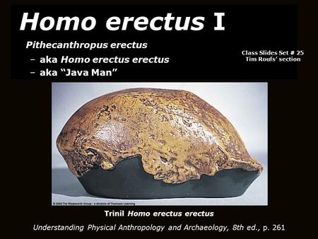 Trinil Homo erectus erectus Understanding Physical Anthropology and Archaeology, 8th ed., p. 261 Homo erectus I Pithecanthropus erectus –aka Homo erectus.
