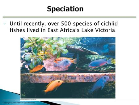 Speciation Until recently, over 500 species of cichlid fishes lived in East Africa's Lake Victoria Copyright © 2009 Pearson Education, Inc.