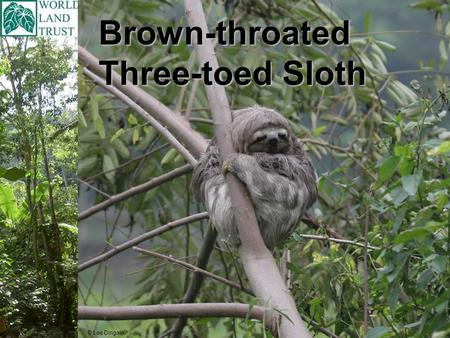 Brown-throated Three-toed Sloth © Lee Dingain. Brown-throated Three-toed Sloth Scientific name is Bradypus variegatus The Brown-throated Three-toed sloth.