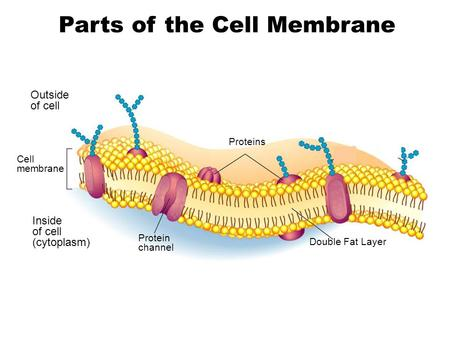 Outside of cell Inside of cell (cytoplasm) Cell membrane Proteins Protein channel Double Fat Layer Carbohydrate chains Parts of the Cell Membrane Go to.