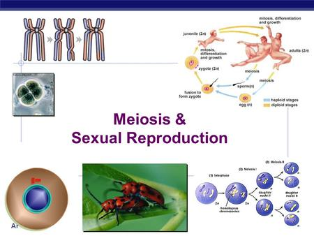 AP Biology 10/1/2015 Meiosis & Sexual Reproduction.