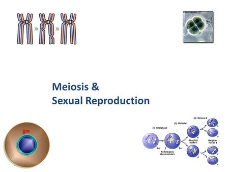 Meiosis & Sexual Reproduction 2007-2008.