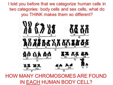 I told you before that we categorize human cells in two categories: body cells and sex cells, what do you THINK makes them so different? HOW MANY CHROMOSOMES.