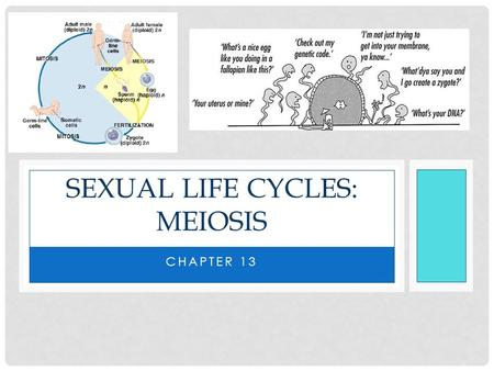 CHAPTER 13 SEXUAL LIFE CYCLES: MEIOSIS. LEARNING TARGET 1 I CAN EXPLAIN HOW OFFSPRING ACQUIRE GENES FROM PARENTS BY INHERITING CHROMOSOMES. I can distinguish.