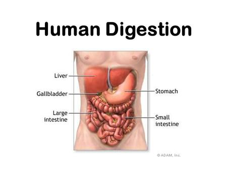 Human Digestion. Nutrition Process by which organisms obtain and utilize their food. There are two parts to Nutrition: 1. Ingestion- process of taking.