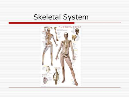 Skeletal System. Bones The skeleton has two major parts: 1.Axial skeleton are the bones of the head and trunk 2.Appendicular skeleton are the bones of.