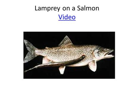 Lamprey on a Salmon Video