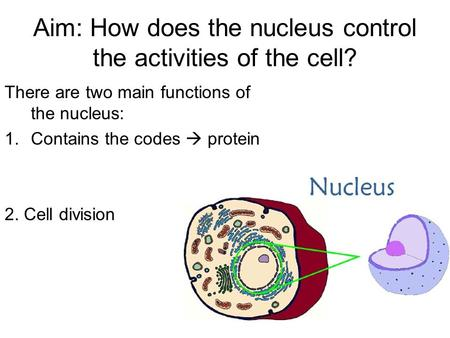 Aim: How does the nucleus control the activities of the cell? There are two main functions of the nucleus: 1.Contains the codes  protein 2. Cell division.