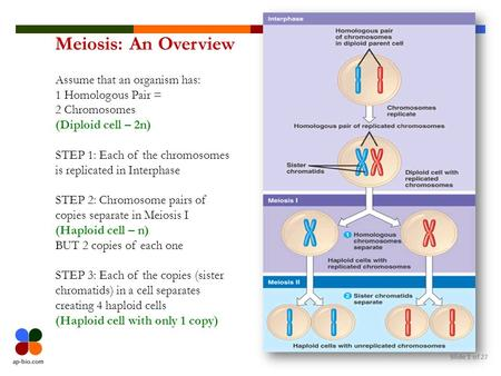 Meiosis: An Overview Assume that an organism has: 1 Homologous Pair =