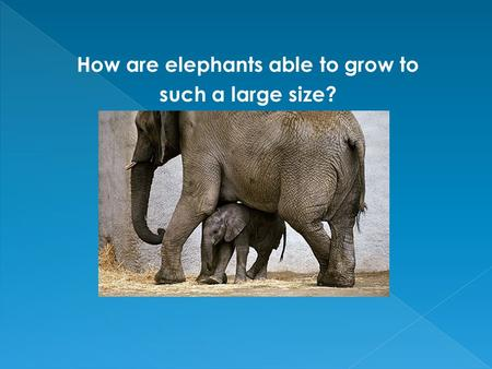 How are elephants able to grow to such a large size?