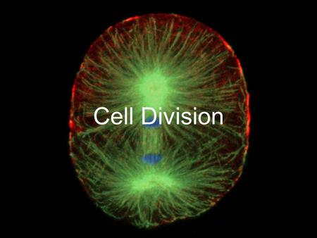 Cell Division. Mitosis – Occurs in BODY cells only!! Every cell must first copy its genetic information before cell division begins. ***Each daughter.