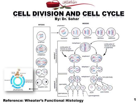 Reference: Wheater's Functional Histology 1 By: Dr. Sahar.