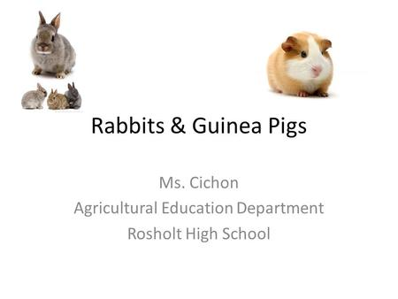Rabbits & Guinea Pigs Ms. Cichon Agricultural Education Department Rosholt High School.