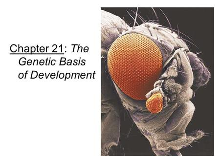 Chapter 21: The Genetic Basis of Development. I.From single cell to multicellular organism: A. Embryonic development = cell determination  differentiation.