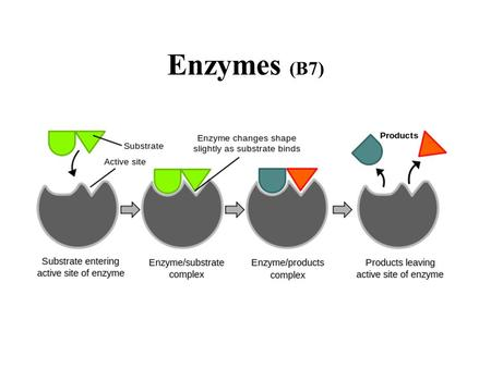 Enzymes (B7). Characteristics (B.7.1) globular proteins that act as biological catalysts lower the activation energy speed up reactions (up to 10 8.
