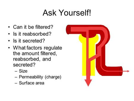 Ask Yourself! Can it be filtered? Is it reabsorbed? Is it secreted? What factors regulate the amount filtered, reabsorbed, and secreted? –Size –Permeability.