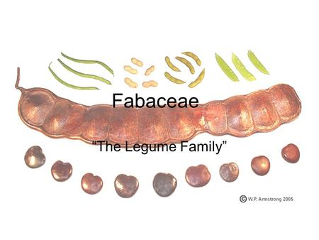 "Fabaceae ""The Legume Family"". A little background information Fabaceae forms the third largest family of flowering plants with 690-800 genera and 14,000-20,000."