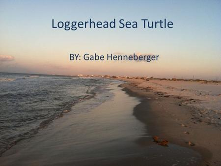 Loggerhead Sea Turtle BY: Gabe Henneberger. Taxonomy Class: Reptilia Family: Cheloniidae Genus: Caretta Species Name: Caretta Caretta.