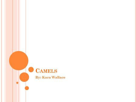 C AMELS By: Kara Wallace. Y OUR INTRODUCTION TO CAMELS ! Camels are one of Saudi Arabia's main source of transportation!