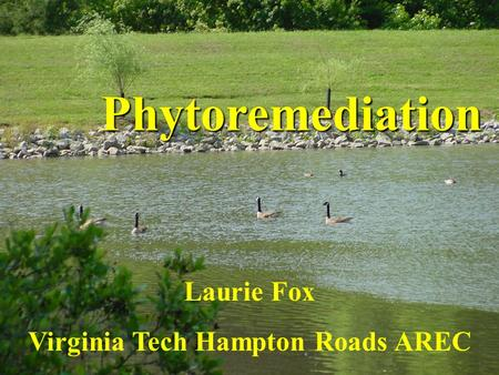 Laurie Fox Virginia Tech Hampton Roads AREC Phytoremediation.