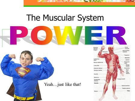 The Muscular System Yeah…just like that!. Muscular System Overview The muscular system consists of all the muscles in your internal organs, as well as.