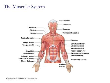 Copyright © 2010 Pearson Education, Inc. The Muscular System.