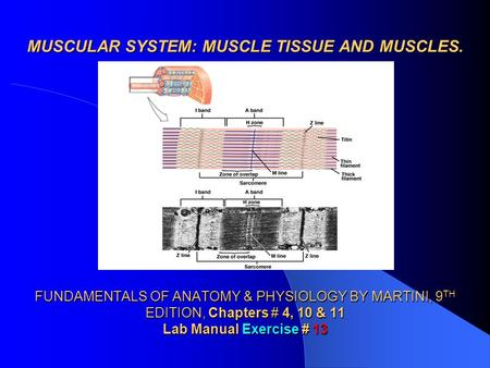 MUSCULAR SYSTEM: MUSCLE TISSUE AND MUSCLES