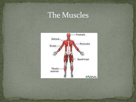At this station you will: Learn the 2 main functions of the muscular system. Learn the main parts of the muscular system. Learn how muscles work.