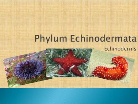 Echinoderms. An echinoderm is a marine invertebrate of the phylum Echinodermata. Examples of echinoderms are sea stars, sea lilies, feather stars, brittle.
