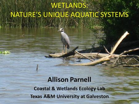 WETLANDS: NATURE'S UNIQUE AQUATIC SYSTEMS Allison Parnell Coastal & Wetlands Ecology Lab Texas A&M University at Galveston.