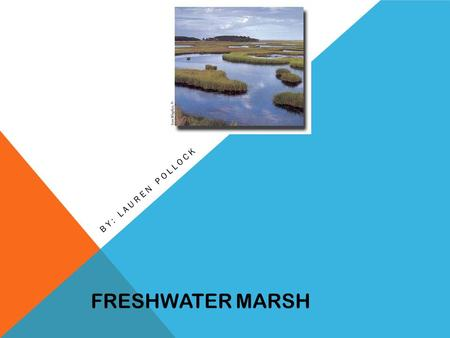 FRESHWATER MARSH BY: LAUREN POLLOCK. Freshwater marshes are usually low lying open areas located near creeks, steams, rivers, and lakes. Creek… FRESHWATER.
