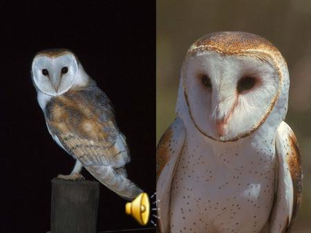 Barn Owl Tyto alba Barn Owls specialize in hunting small ground mammals, and the vast majority of their food consists of small rodents. Voles (field mice)